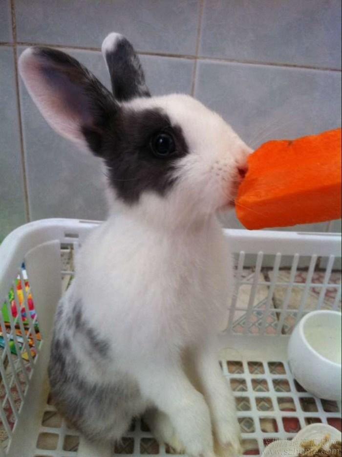 可爱宠物壁纸小兔子