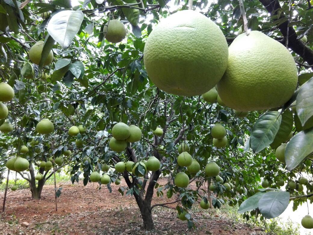 绿灯笼柚子树-绿灯笼