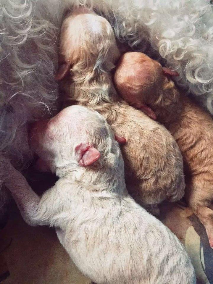 > 昨晚刚出生的比熊和小贵宾生的宝宝萌照